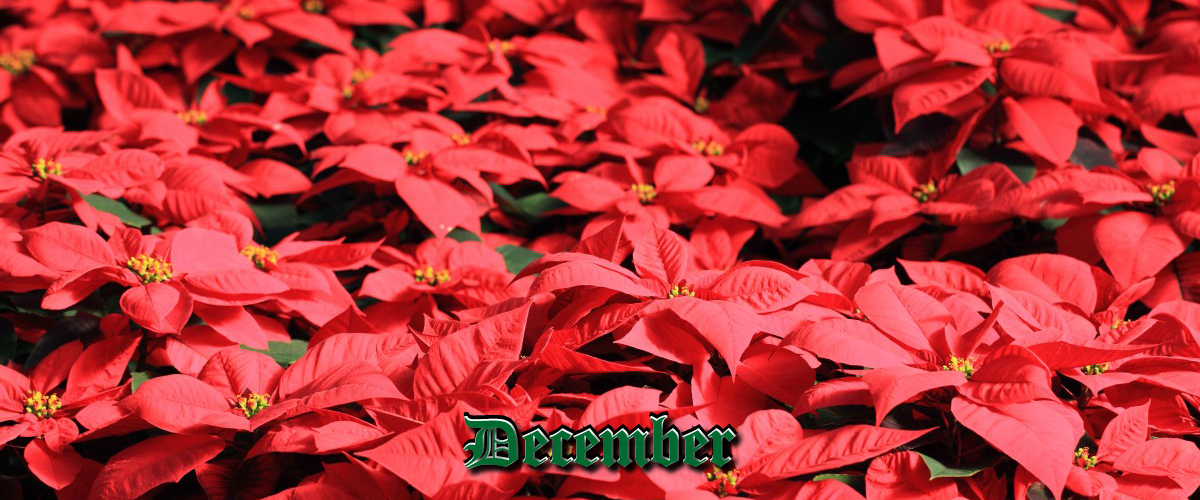 December cover image of poinsettias